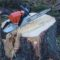 Информация о выдаче разрешений на вырубку и обрезку деревьев Харьюмаа Таллинн